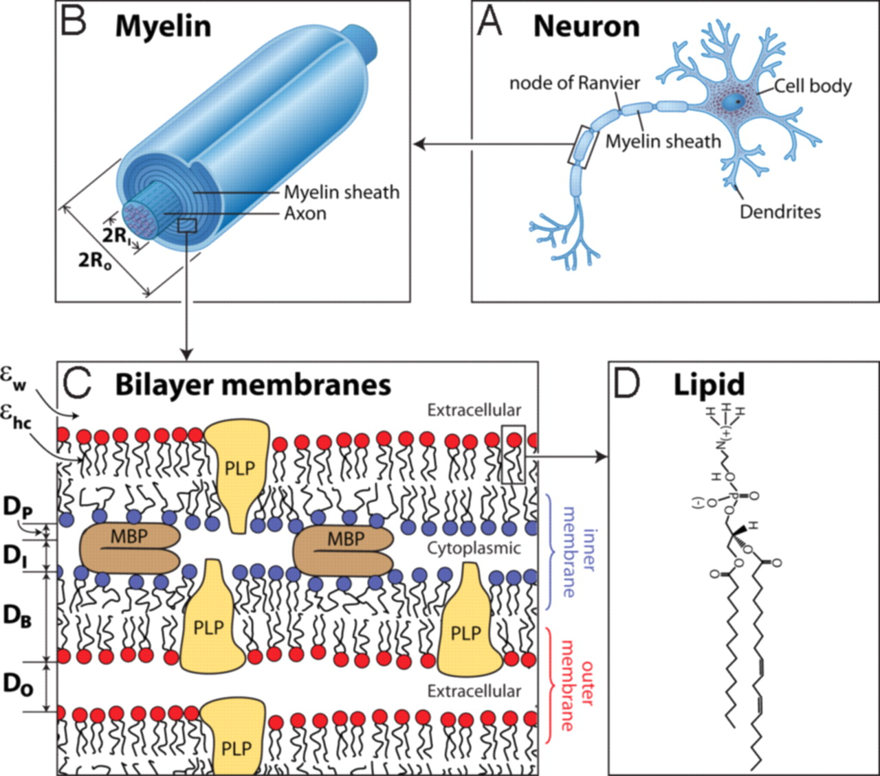 myelin sheath The myelin sheath is a compact roll of the plasmalemma of an oligodendrocyte process: this glial membrane is rich in lipids myelinated axons are surrounded by a.